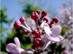 古代是怎样治疗口臭的?古代口香糖是什么?